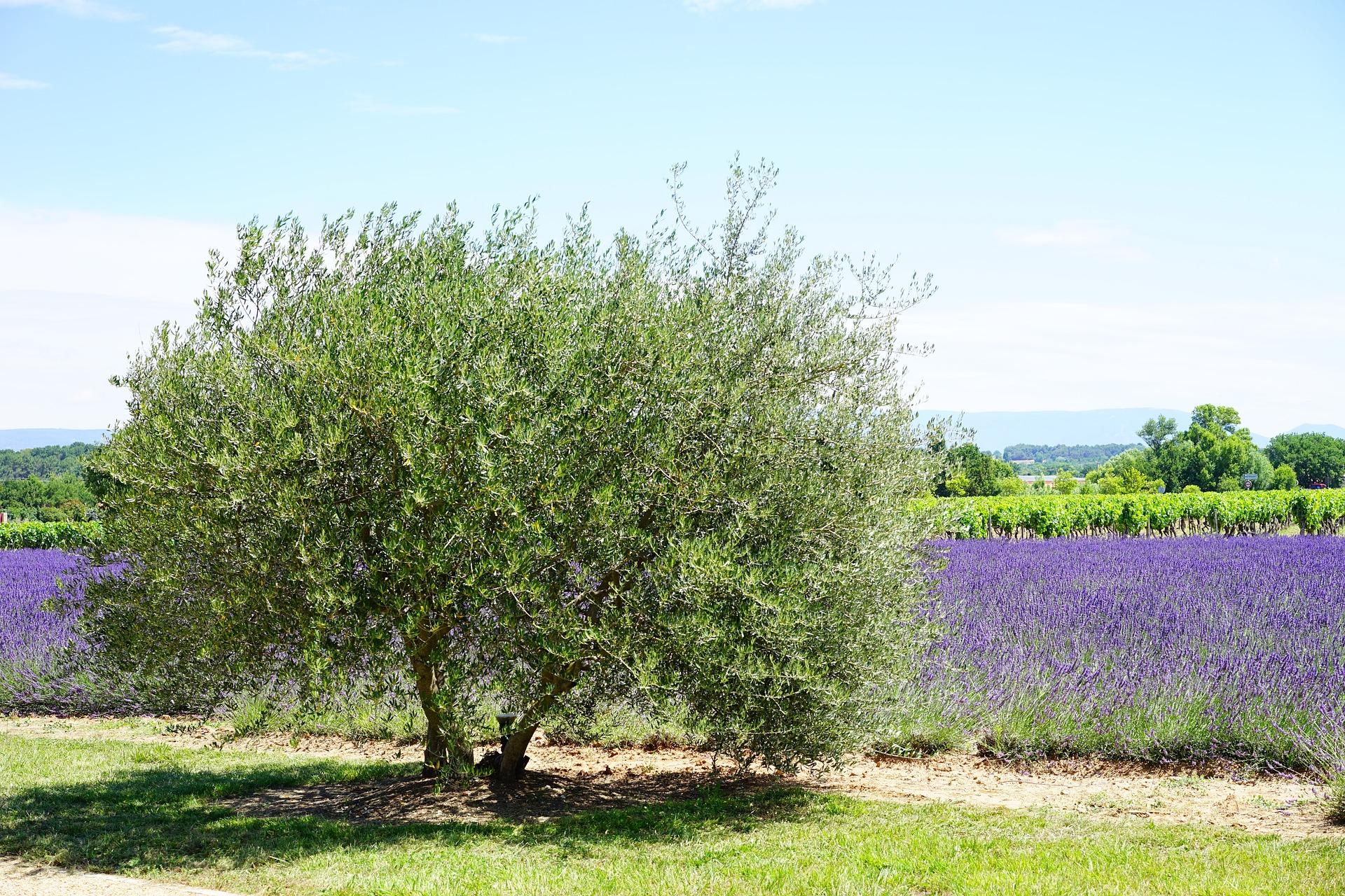 arbre olivier avec de la lavande